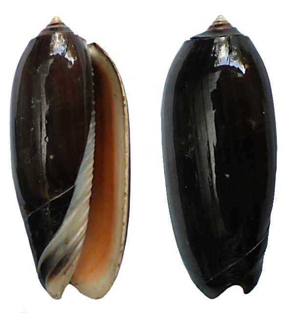 Miniaceoliva miniacea f. marrati (Johnson, 1910) accepted as Oliva miniacea miniacea (Röding, 1798) Nv-0110