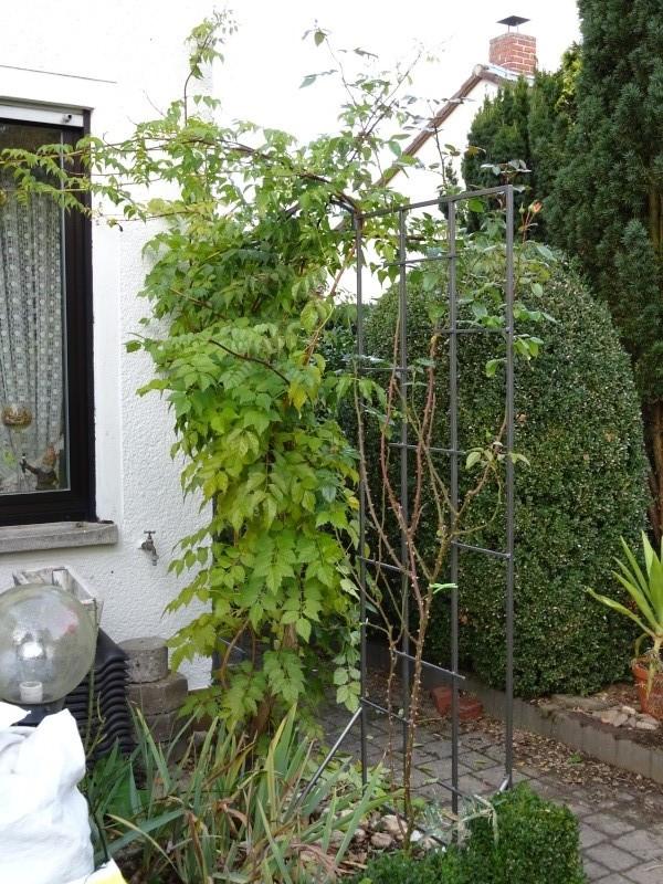 Trompetenbaumgewächse (Bignoniaceae) - Seite 2 Dsc00110