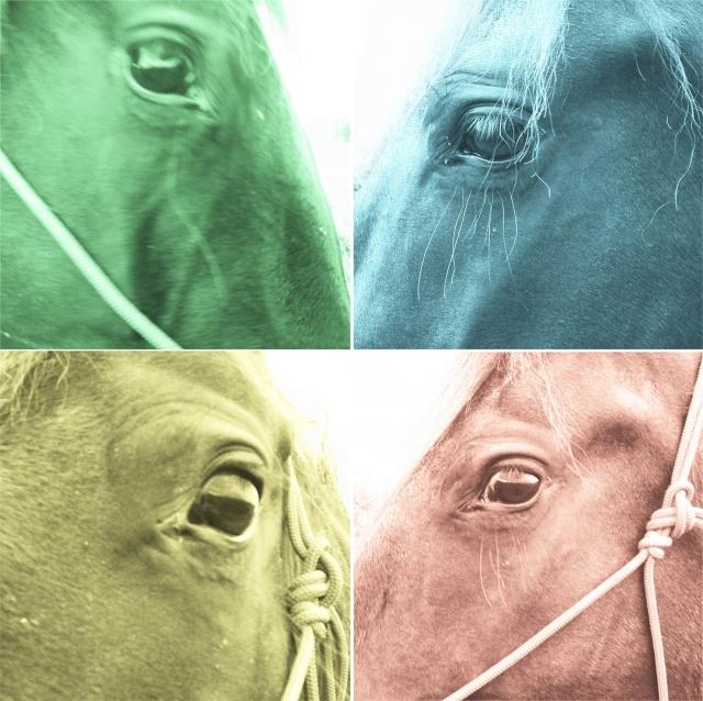 Expressions faciales des chevaux Carre_11