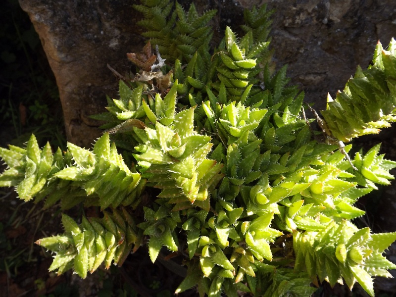 Aloe juvenna - Page 3 Aloe_j11