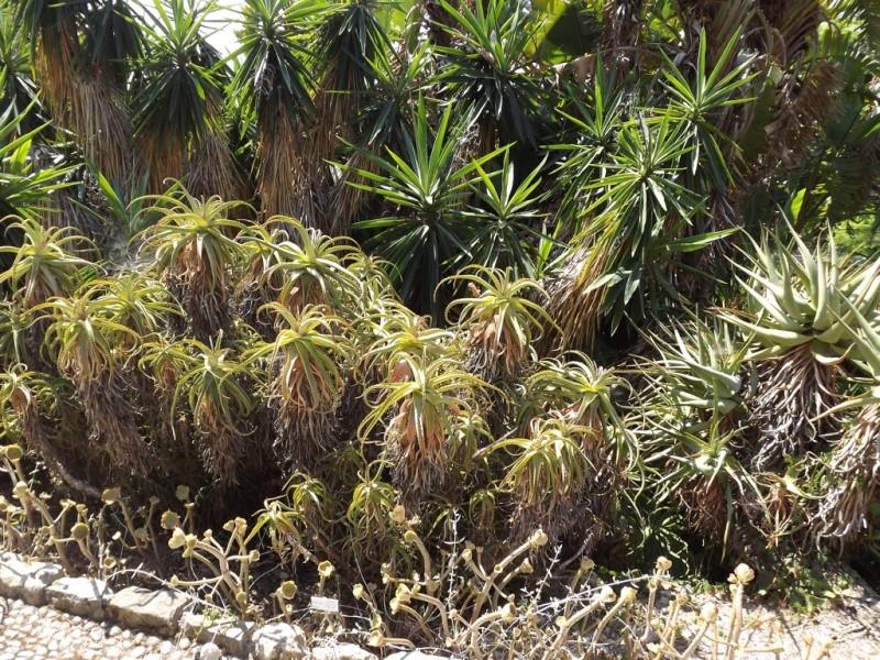 (Italie) Giardini Botanici Hanbury - Mortola Hanbur28