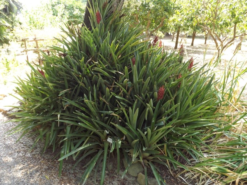 (Italie) Giardini Botanici Hanbury - Mortola Hanbur43