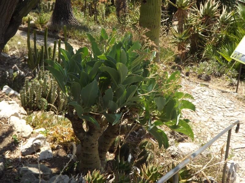 (Italie) Giardini Botanici Hanbury - Mortola Hanbur46