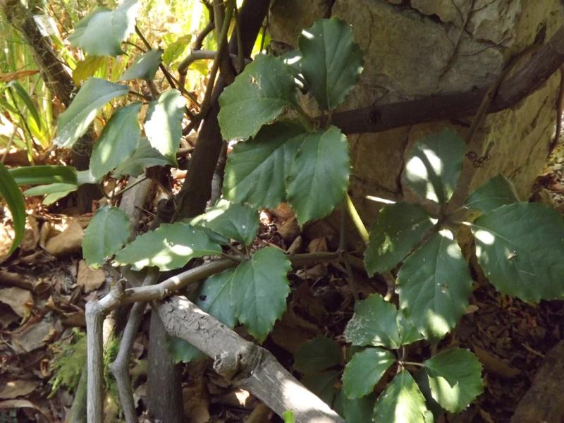 (Italie) Giardini Botanici Hanbury - Mortola Hanbur47