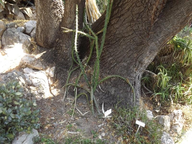 (Italie) Giardini Botanici Hanbury - Mortola Hanbur48