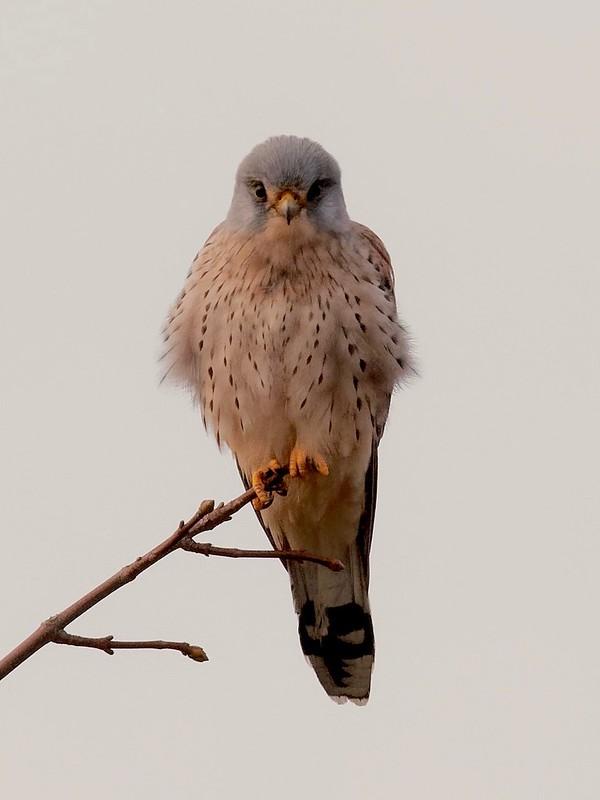 Faucon  crécerelle mâle 46385410