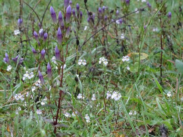Euphrasia stricta ou officinalis ? - euphraise Euphra10