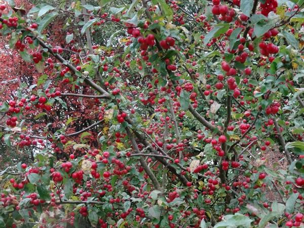 derniers sursauts du jardin - Page 2 Pommes10
