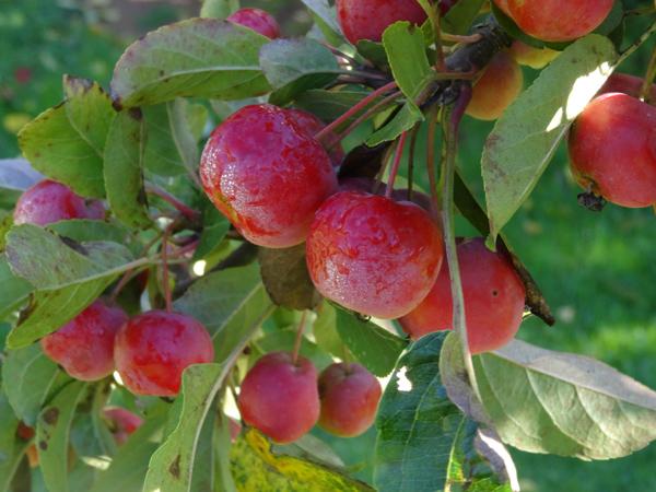 Malus sp. [identification non terminée] Pommes11