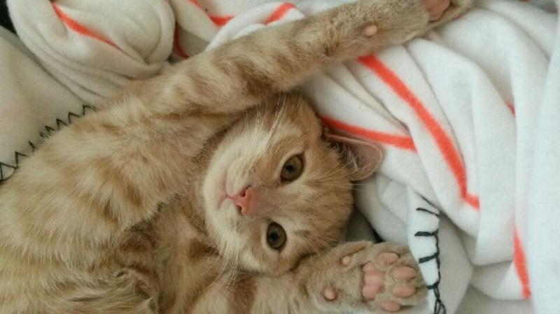 LEON, adorable chaton de 3 mois à la robe roux clair 20151012
