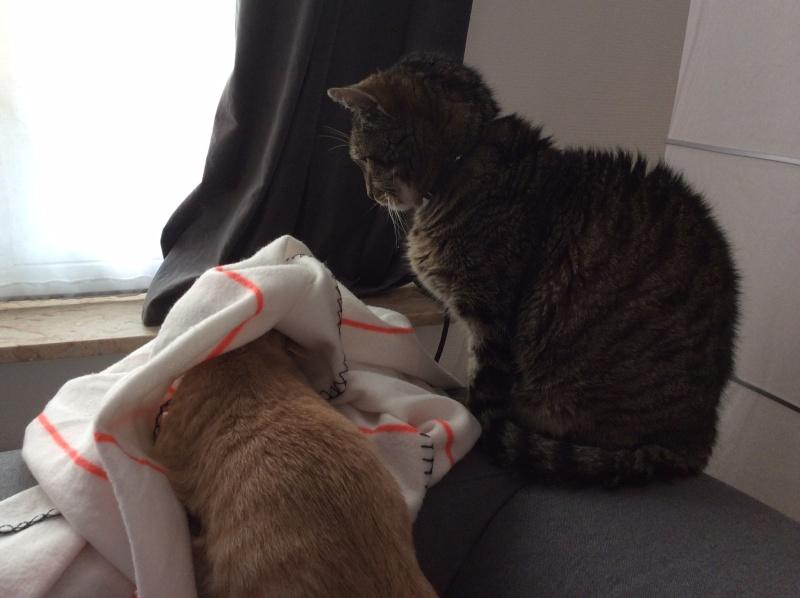 LEON, adorable chaton de 3 mois à la robe roux clair Image-10