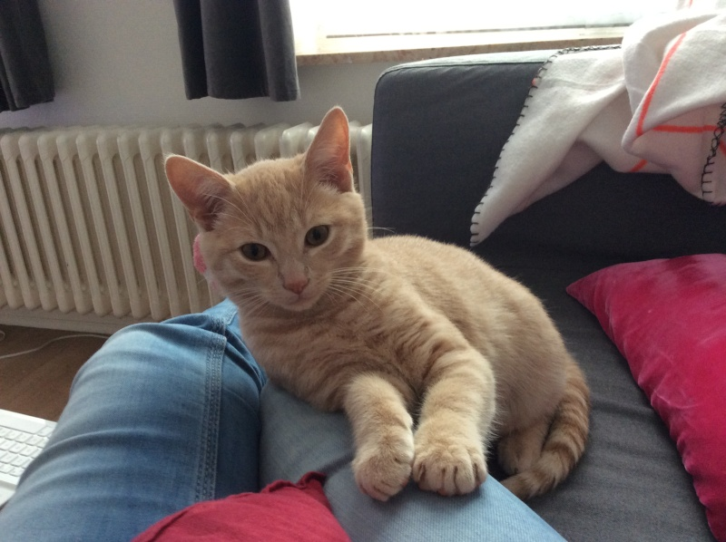 LEON, adorable chaton de 3 mois à la robe roux clair Image_10