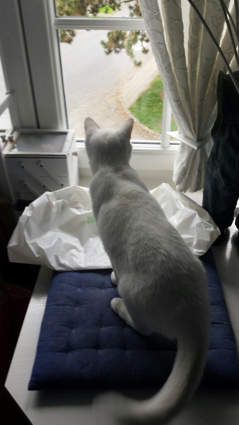 HORTENSE, très belle chatte blanche de 8 mois Image_11