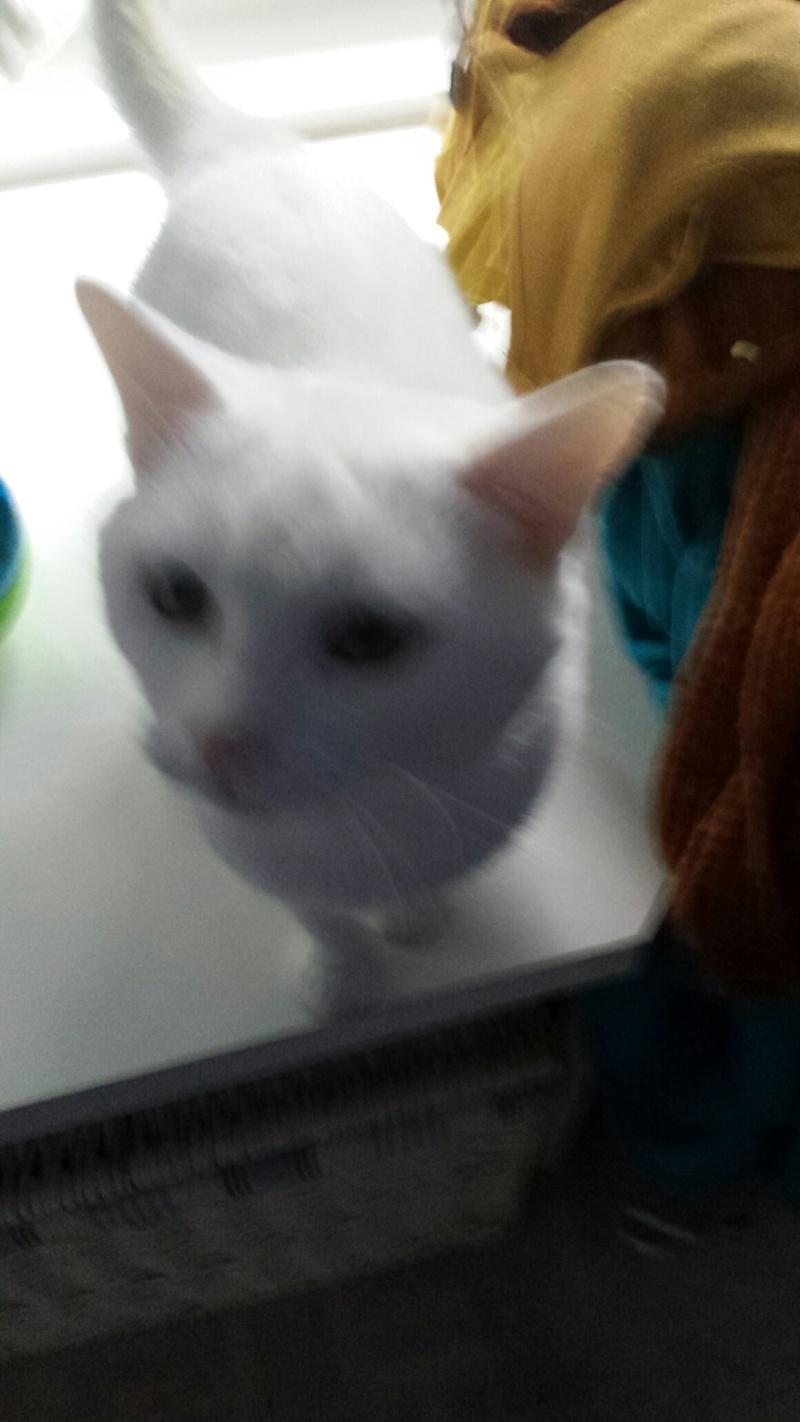 HORTENSE, très belle chatte blanche de 8 mois Image_12