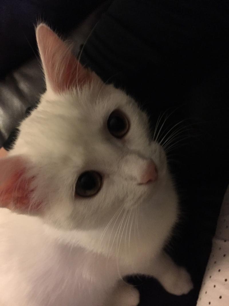 MARIE, adorable chatonne de 3 mois à la robe blanche Img_1413
