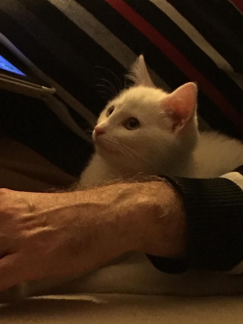 MARIE, adorable chatonne de 3 mois à la robe blanche Img_1414