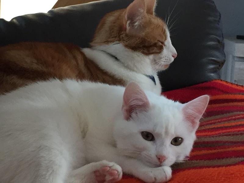 MARIE, adorable chatonne de 3 mois à la robe blanche Img_1512