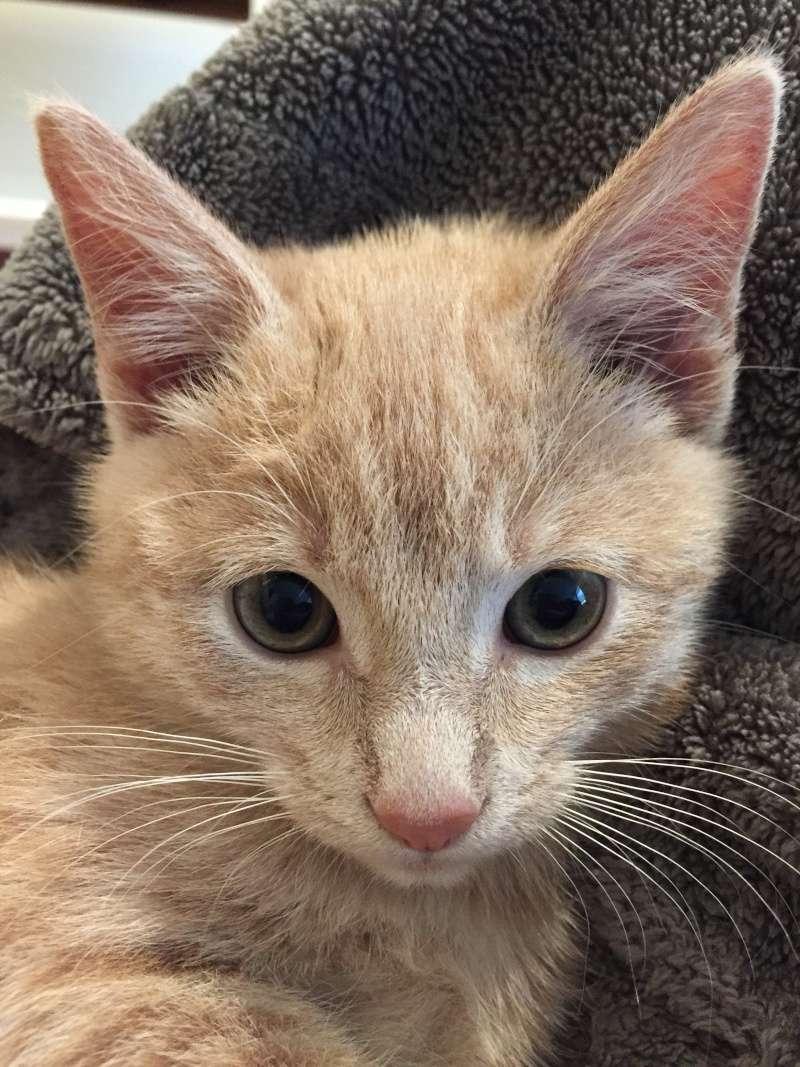 BISCUIT, adorable chaton de 3 mois à la robe roux clair Img_3115