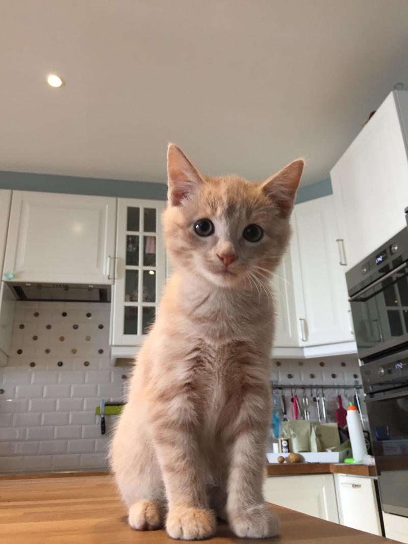 LEON, adorable chaton de 3 mois à la robe roux clair Img_3214