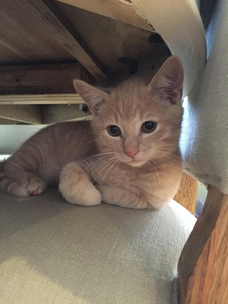 LEON, adorable chaton de 3 mois à la robe roux clair Img_3215