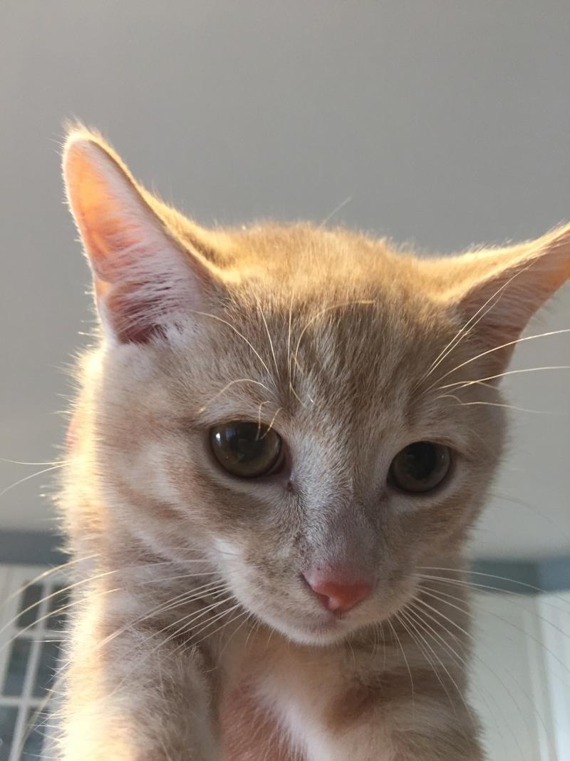 LEON, adorable chaton de 3 mois à la robe roux clair Img_3216