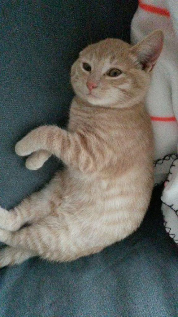 LEON, adorable chaton de 3 mois à la robe roux clair Img_3220