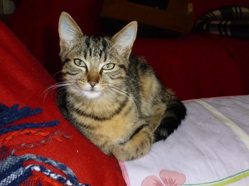GRIBOUILLE, adorable chaton marbré de 10 semaines P1010918