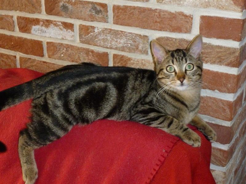 GRIBOUILLE, adorable chaton marbré de 10 semaines P1020110