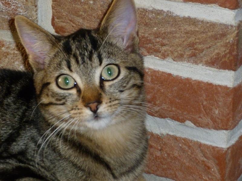 GRIBOUILLE, adorable chaton marbré de 10 semaines P1020111