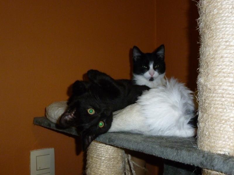 Baghera, très belle petite chatonne black de 3 mois P1020210