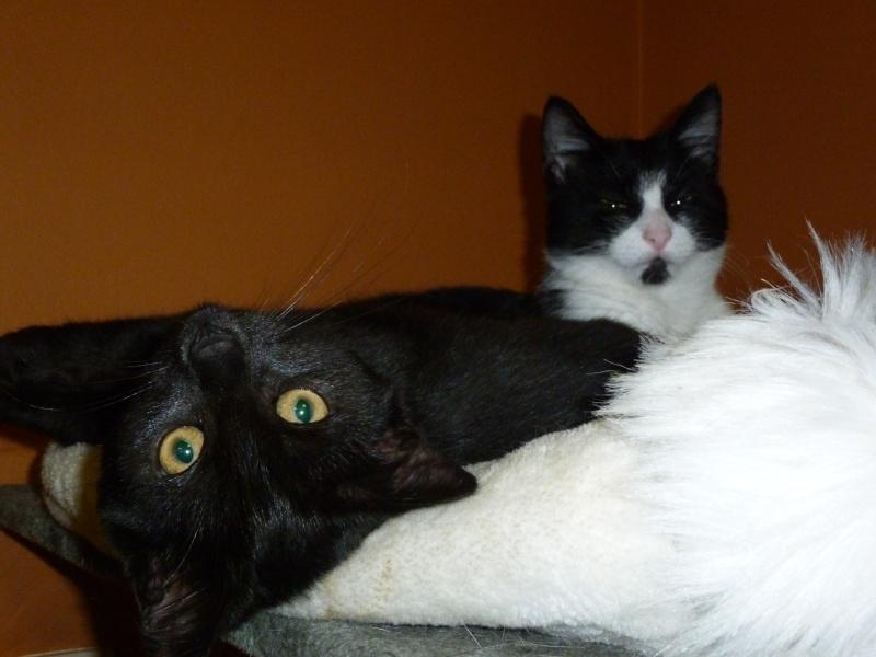 Baghera, très belle petite chatonne black de 3 mois P1020211