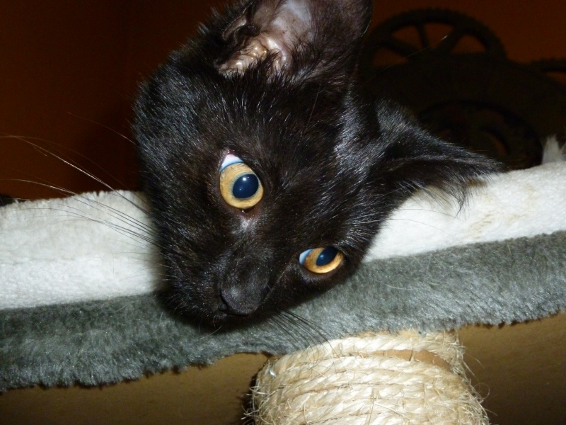 Baghera, très belle petite chatonne black de 3 mois P1020212