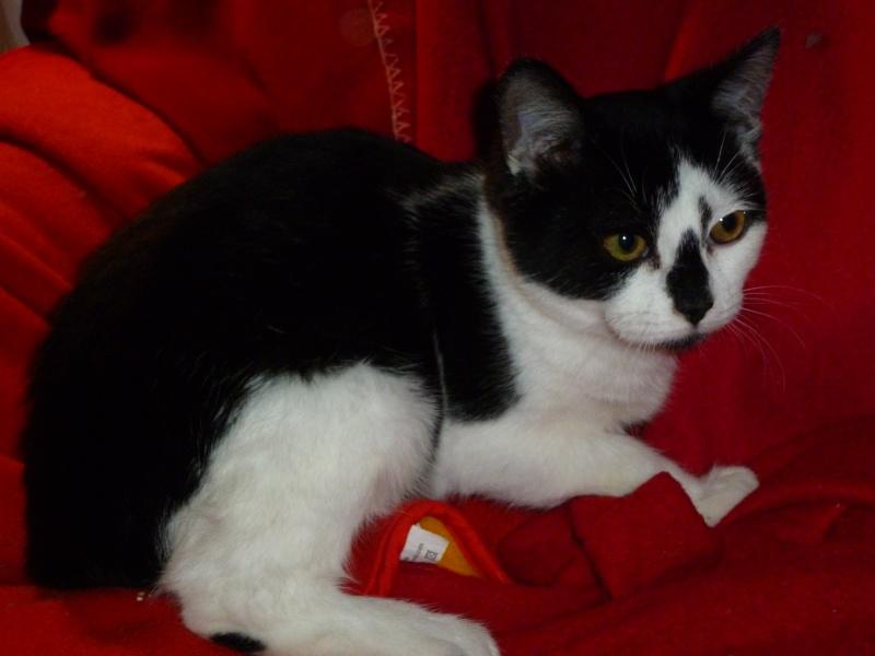 OLIVER, adorable chaton de 4 mois blanc et noir P1020218