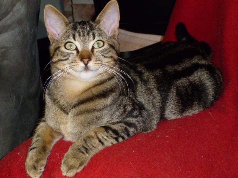 GRIBOUILLE, adorable chaton marbré de 10 semaines P1020219