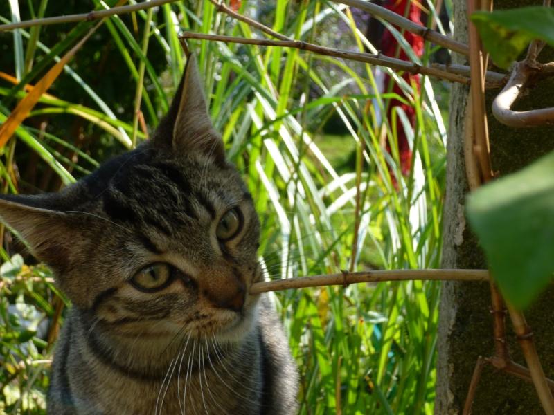 GRIBOUILLE, adorable chaton marbré de 10 semaines P1020220
