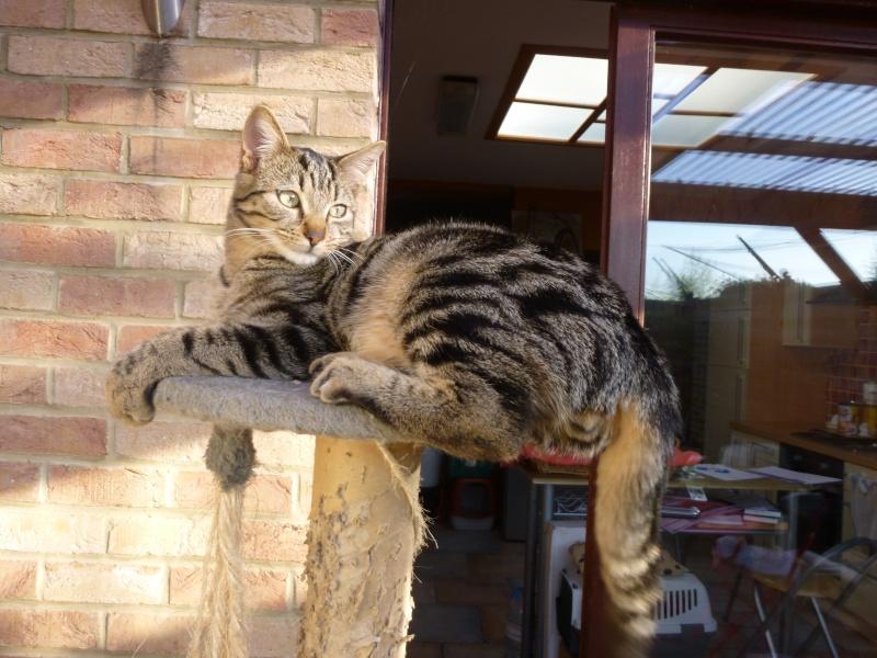 GRIBOUILLE, adorable chaton marbré de 10 semaines P1020314