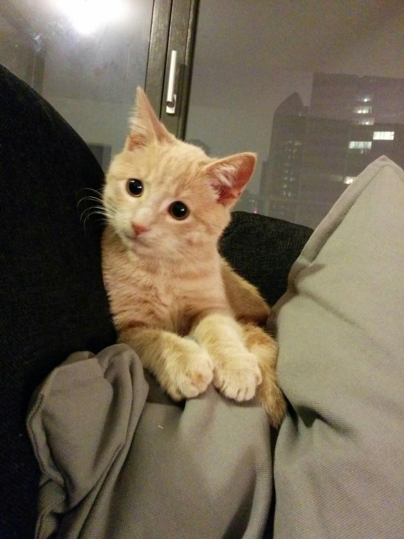 BISCUIT, adorable chaton de 3 mois à la robe roux clair Twist011