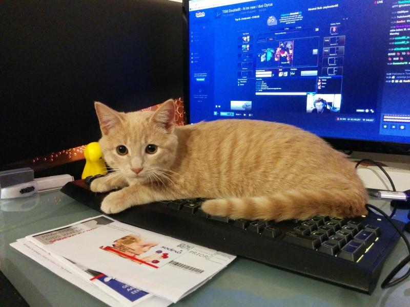 BISCUIT, adorable chaton de 3 mois à la robe roux clair Twist110