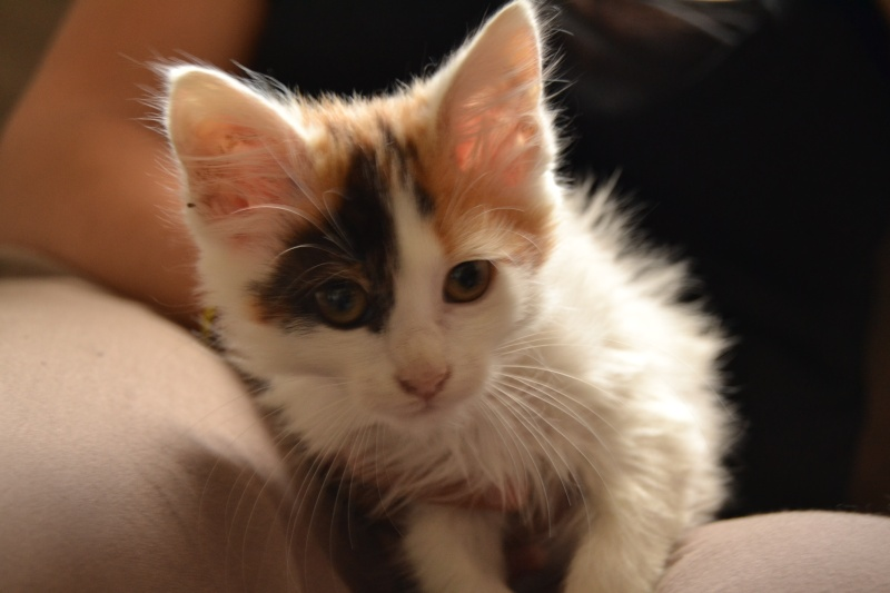 Liberty, femelle type européenne blanche et tricolore née en juillet 2015 110