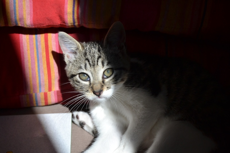 Lizzy, femelle type européenne tabby et blanche née 15/07/2015 313