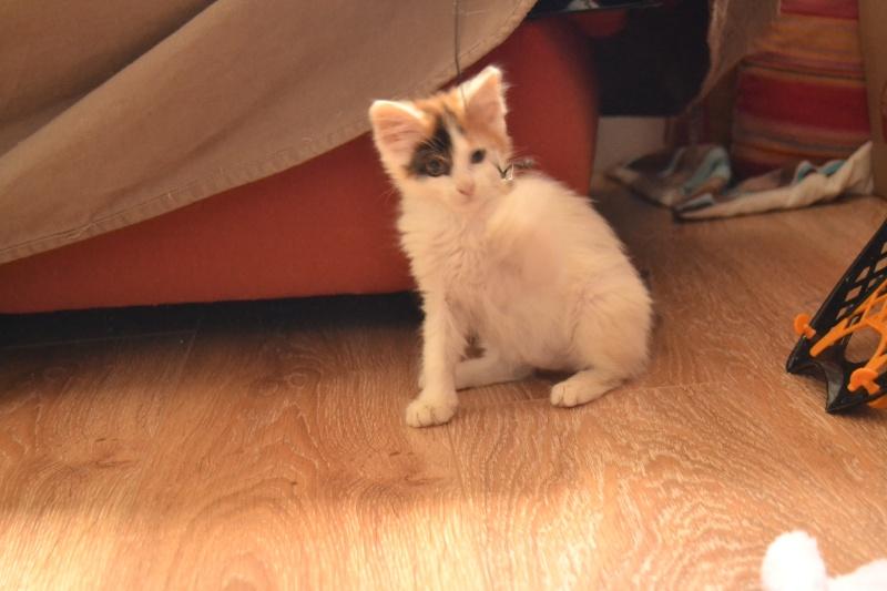Liberty, femelle type européenne blanche et tricolore née en juillet 2015 410