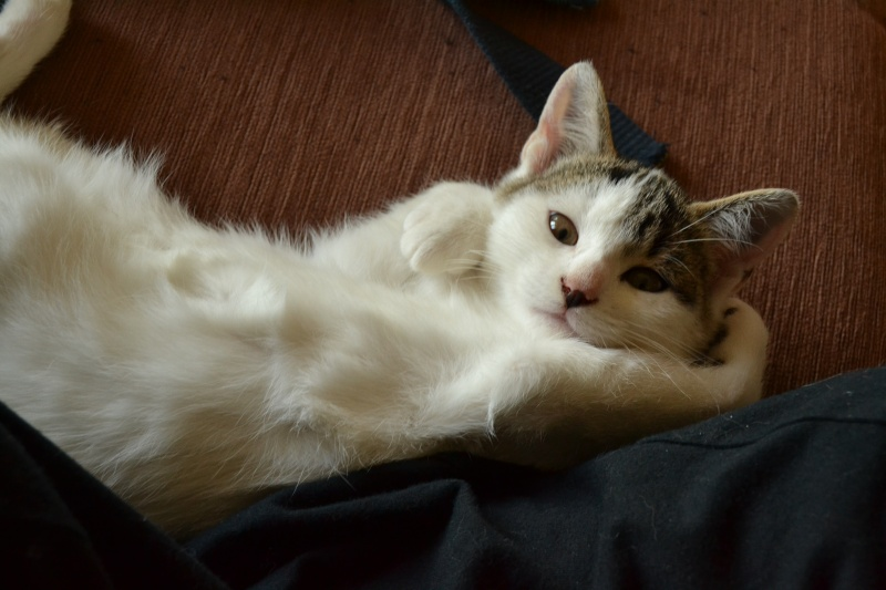 Levi, mâle type européen blanc et tabby né 15/07/2015 611