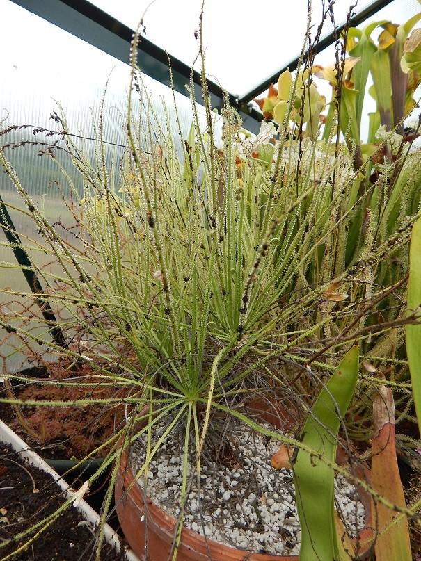 Drosophyllum et cephalotus. Dscn2711