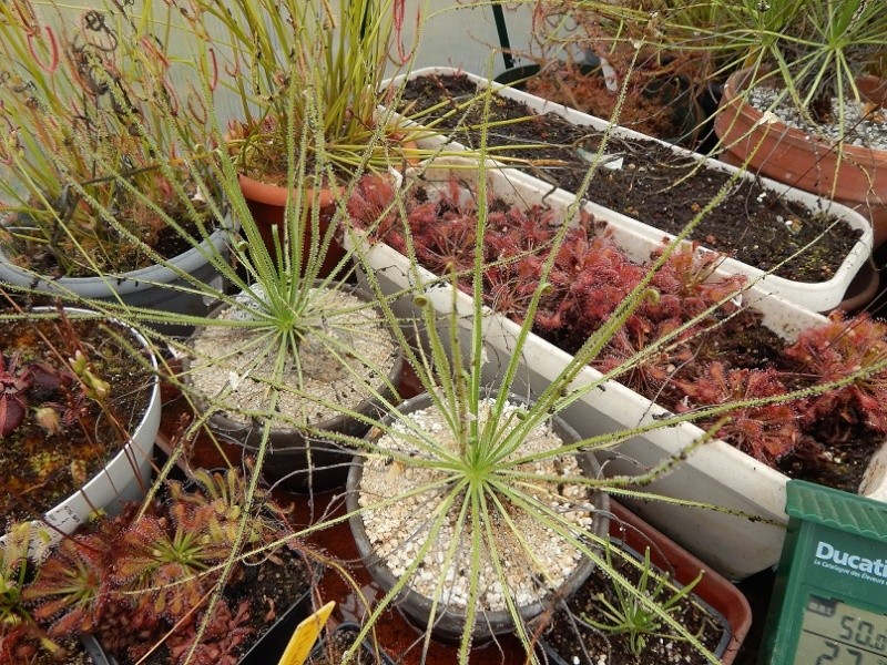 Comment semer et maintenir un drosophyllum ? Dscn2712