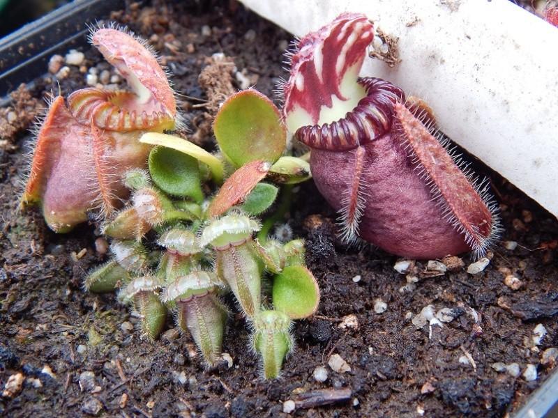 Drosophyllum et cephalotus. Dscn2713
