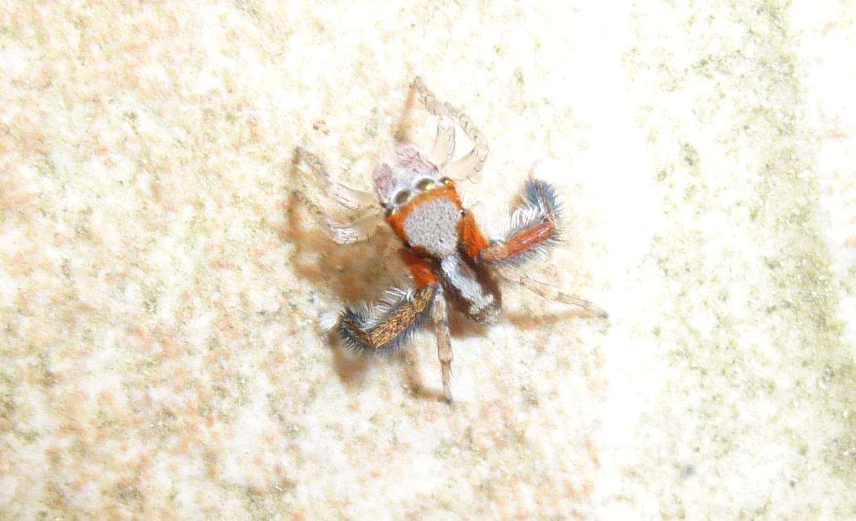 Aidez-moi à identifier cette mignonne petite araignée ! Ident10