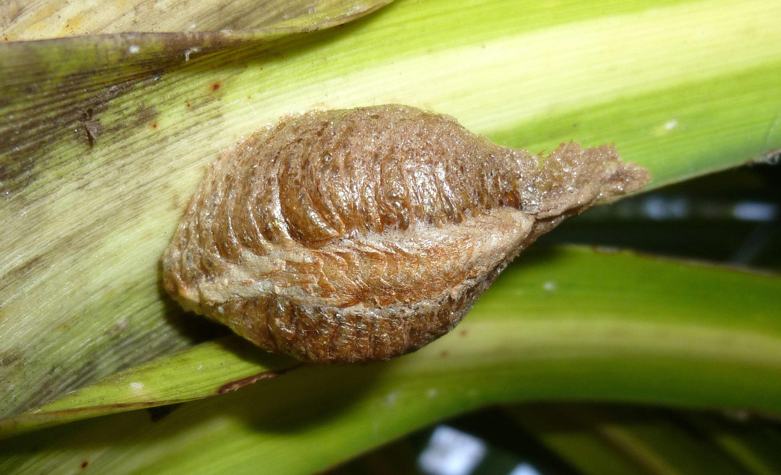 [Mantis religiosa] Chrysalide ou nid ? P1330810