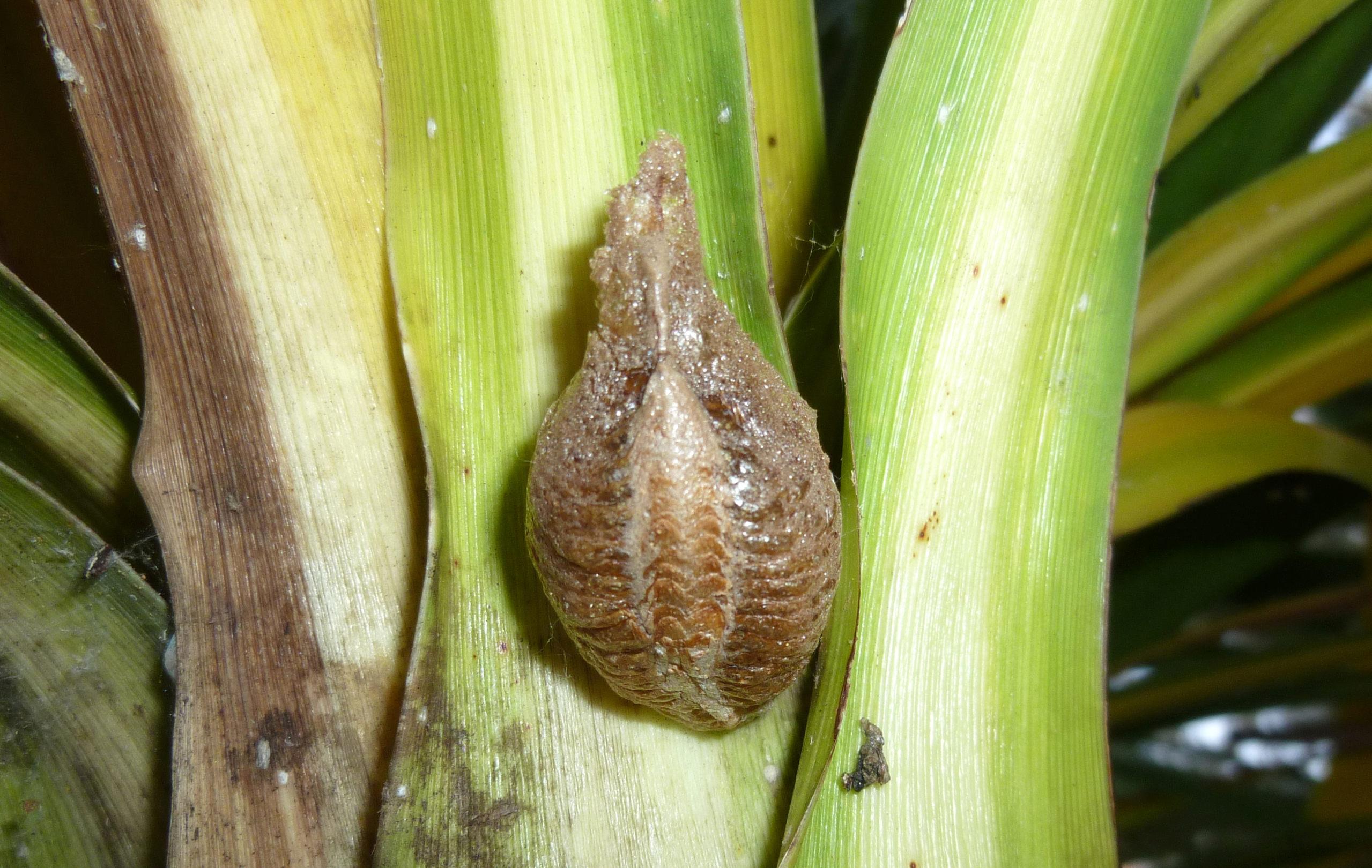 [Mantis religiosa] Chrysalide ou nid ? P1330812