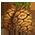 Séquoia Géant => Cône de Séquoia Sequoi10