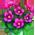 Biche Blanche => Fourrure de Biche  Violet12